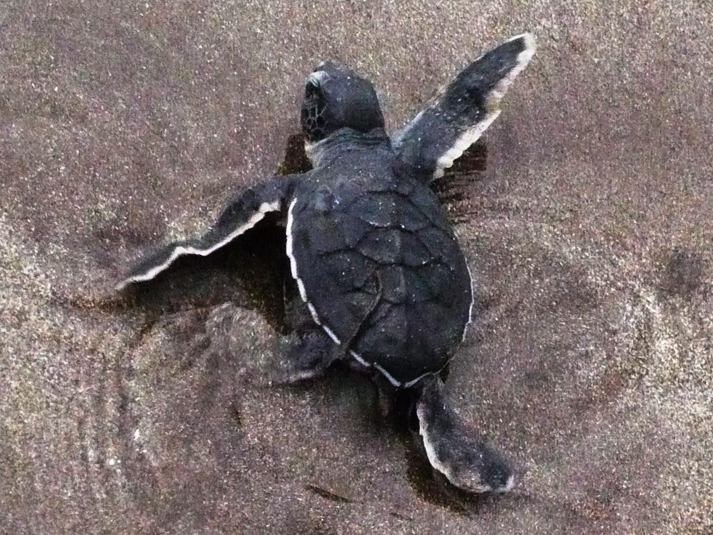 Petite tortue verte SCS